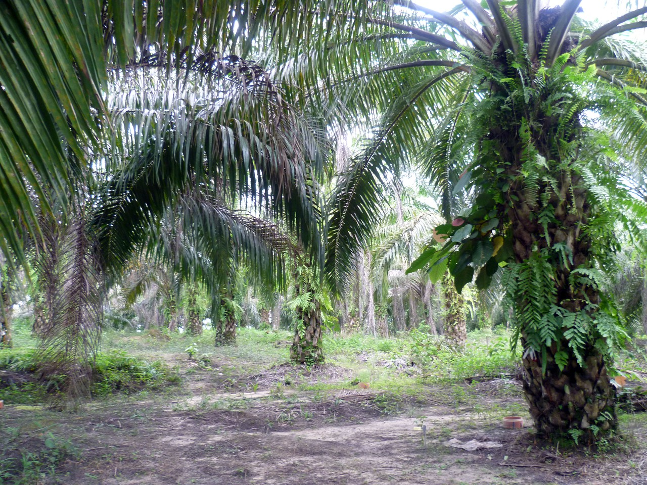 Mature palm oil plantation (Credit: Clifton Sabajo)