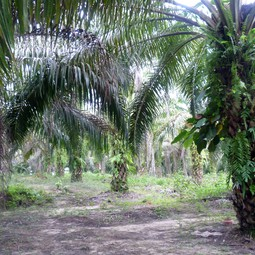 Mature palm oil plantation
