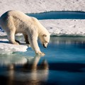 Polar bear tests the strength of thin sea ice in the Arctic