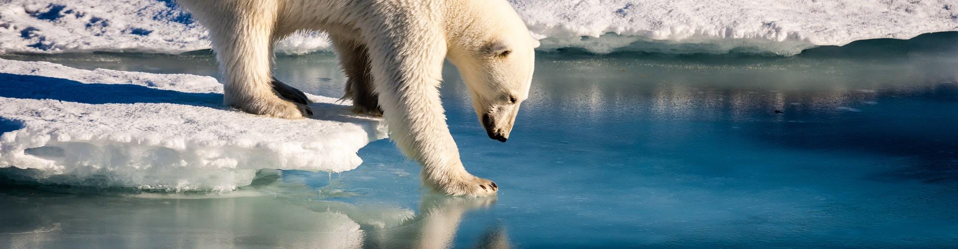 Polar bear tests the strength of thin sea ice in the Arctic (Credit: Mario Hoppmann, via imaggeo.egu.eu)