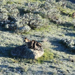 8-Mile Pack wolf pups, Yellowstone National Park