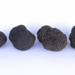 Burgundy truffles' size comparison