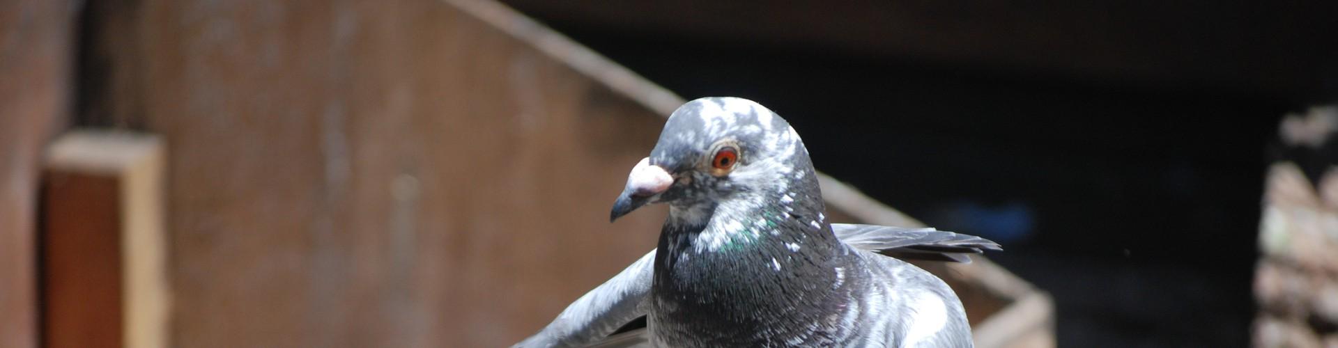 Homing pigeon (Credit: Five Furlongs)