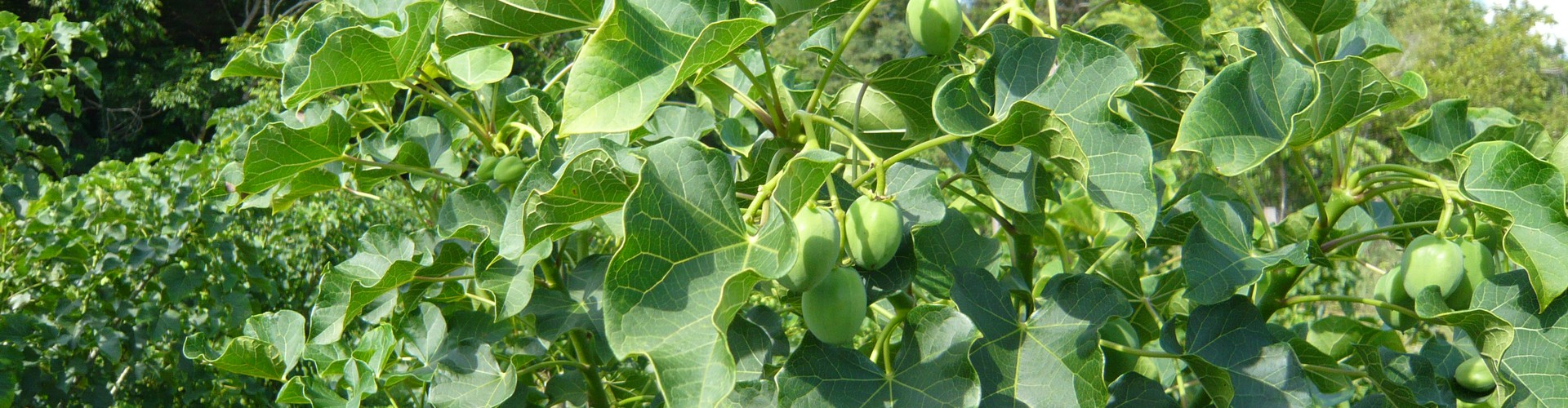 A one-year-old Jatropha curcas tree (Credit: Immersia, Wikimedia Commons)