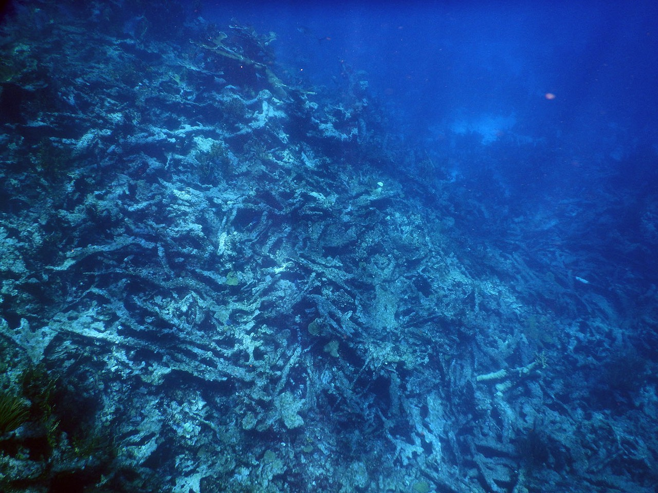 Dead Elkhorn coral (Credit: Curt Storlazzi, USGS)