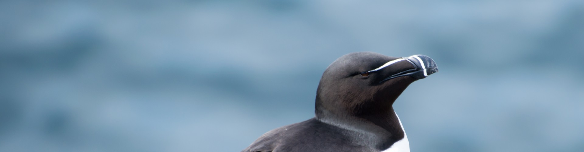 Razorbill photographed in Kilrenny, Scotland in 2018 (Credit: theleastweasel)