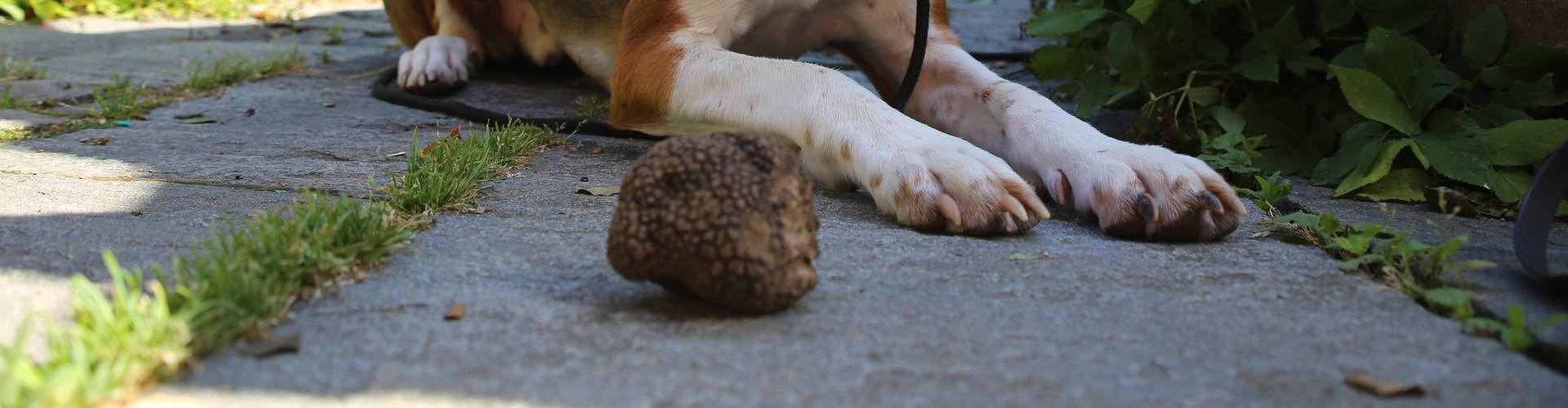 Miro, a trained truffle dog, and his harvest (Credit: Simon Egli, WSL)