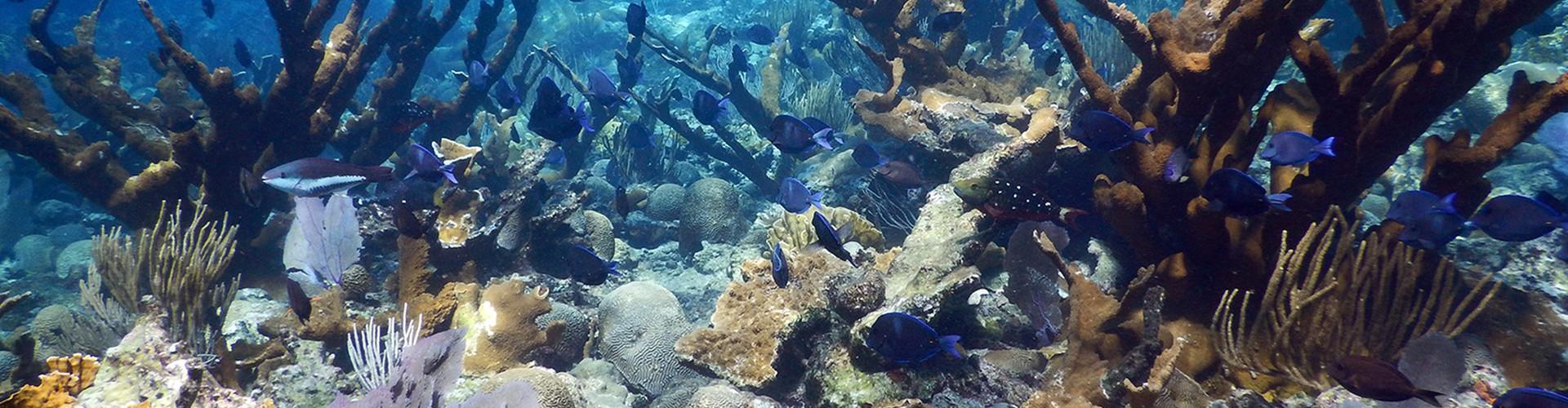 Healthy Elkhorn coral (Credit: Curt Storlazzi, USGS)