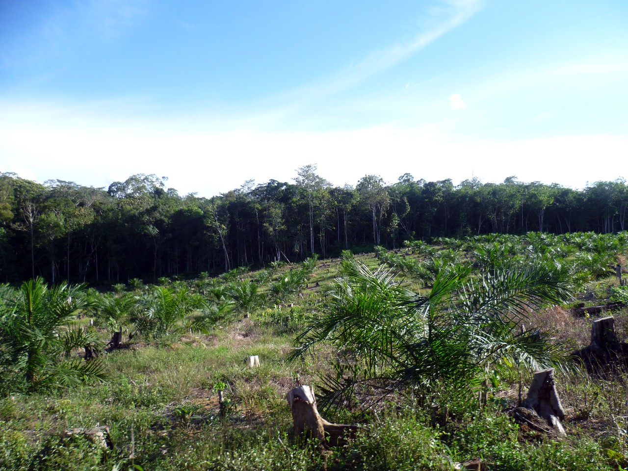 Young palm oil plantation and forest (Credit: Clifton Sabajo)
