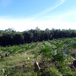 Young palm oil plantation and forest