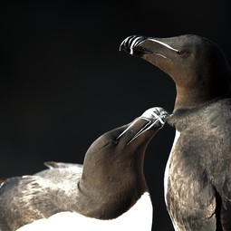 Razorbill Alca torda, two adults with one preening the other, Great Saltee, Republic of Ireland