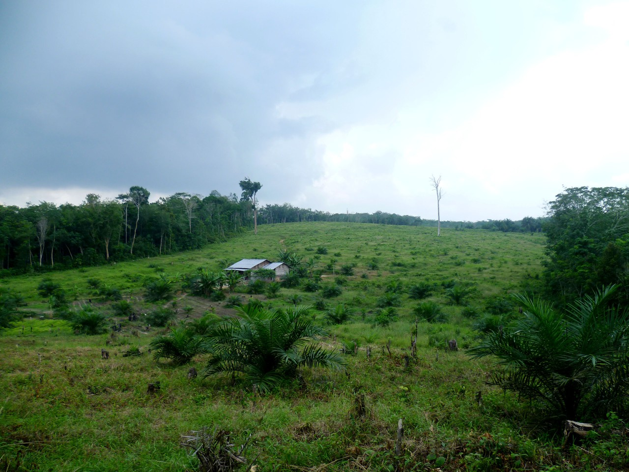 Young palm oil plantation established between forest areas (Credit: Clifton Sabajo)