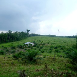 Young palm oil plantation established between forest areas