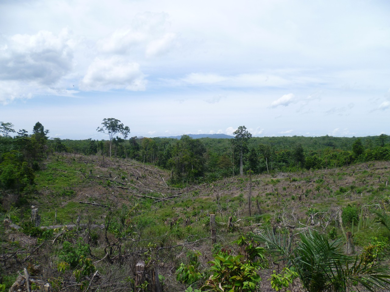 Recently cleared land, with a young palm oil plantation (Credit: Clifton Sabajo)
