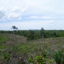 Recently cleared land, with a young palm oil plantation