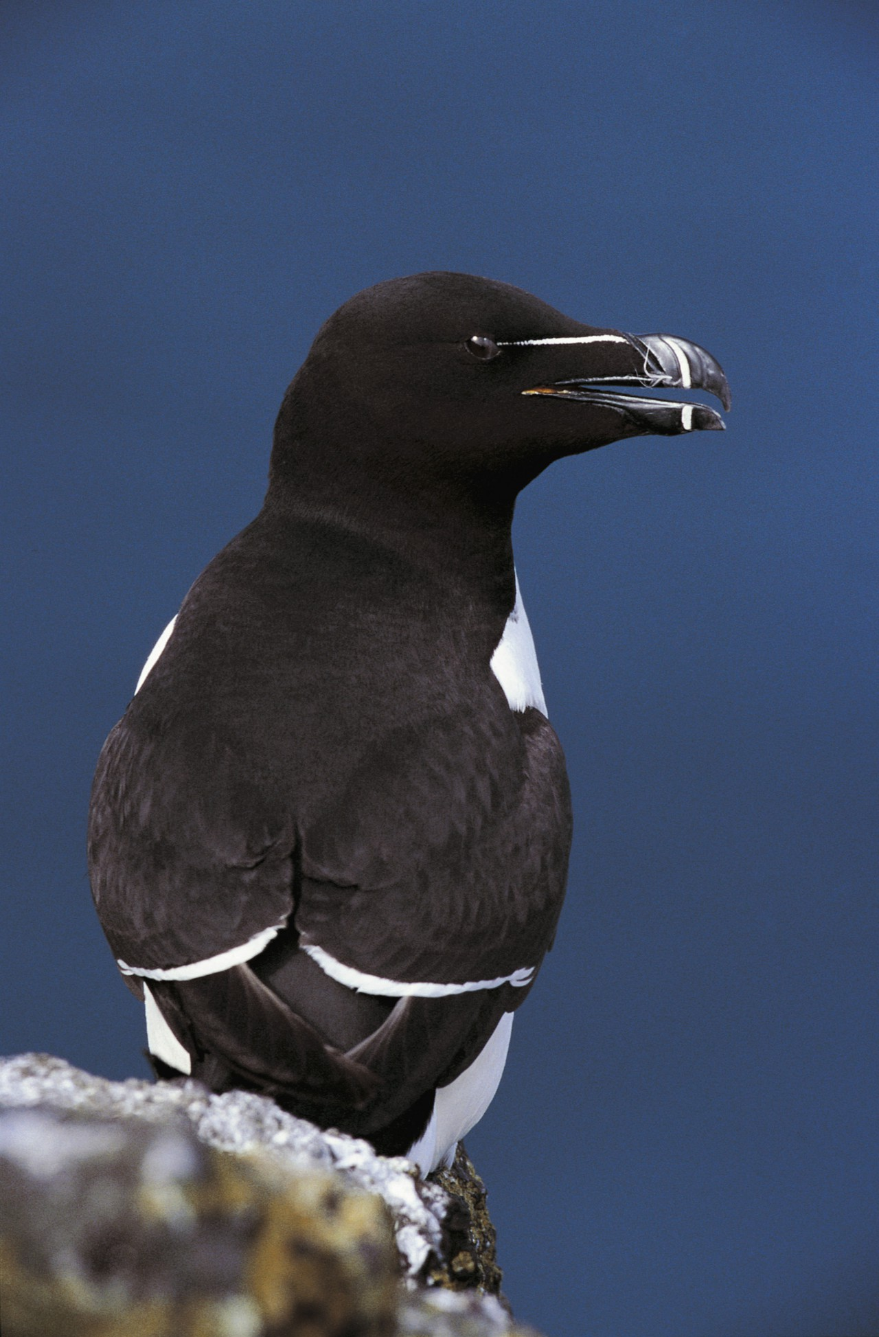 Razorbill Alca torda, Isle of May National Nature reserve (Credit: Andy Hay (rspb-images.com))